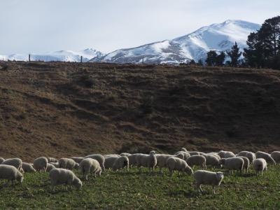 Flock of sheep at Hanmer Springs