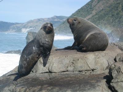 New Zealand Fur Seals on the Kaikoura Coast
