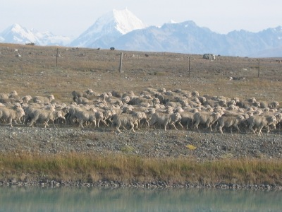 Mount Cook Day Tour flock of Merino Sheep
