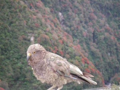Kea Bird viewed on a Tranz Alpine Day Tour