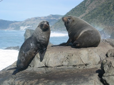 New Zealand Fur Seals on the Kaikoura Coast